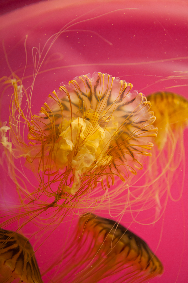 Shedd-Aquarium-32-jelly-fish