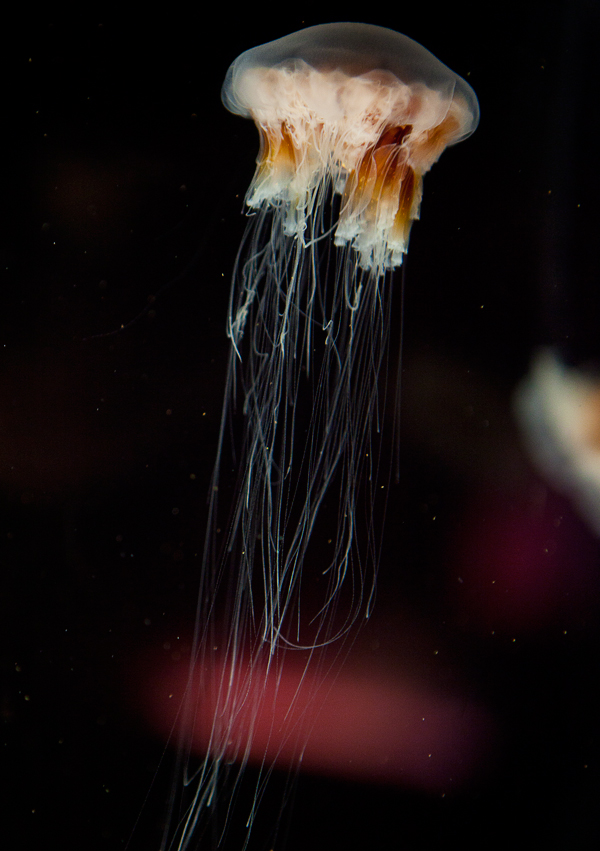 Shedd-Aquarium-35-jelly-fish