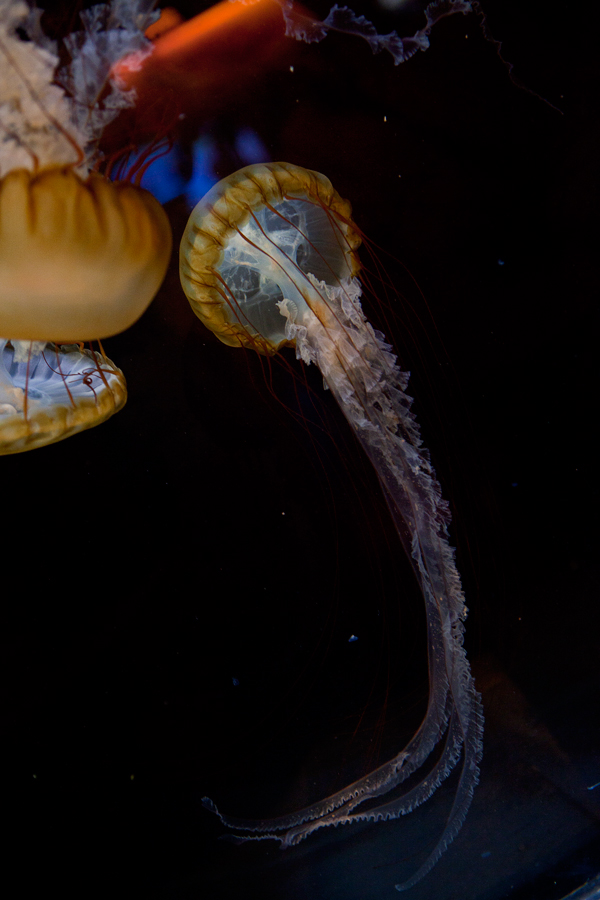 Shedd-Aquarium-39-jelly-fish